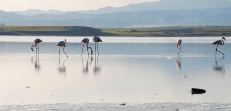 Flamingos at the salt lake in Larnaka Cyprus