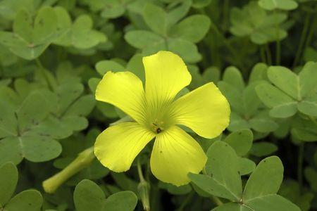 plants species: Hypericum perforatum, St Johns Wort