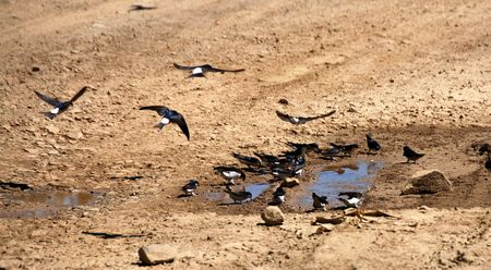 harbinger: Swallow birds drinking water from little lakes in the ground