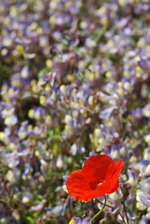 Red poppy and other flowers.. Stock Photo - 2550570