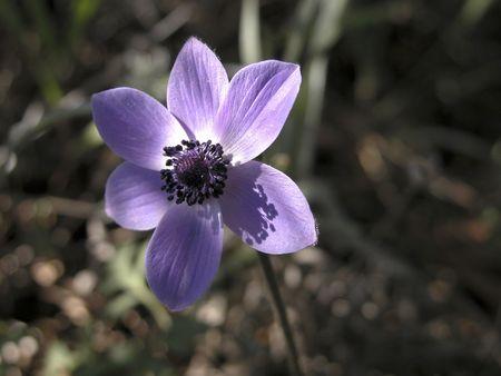 Anemone Coronaria or Poppy Anemone  photo