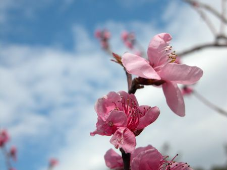 Apple Blossom In Spring! Stock Photo