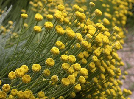 Field of Santolina (Holy Flax) flowers