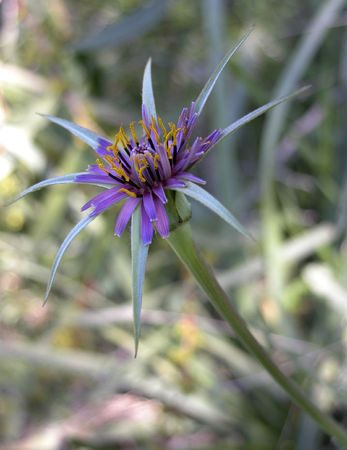 compositae:     Flower in the  of   Compositae