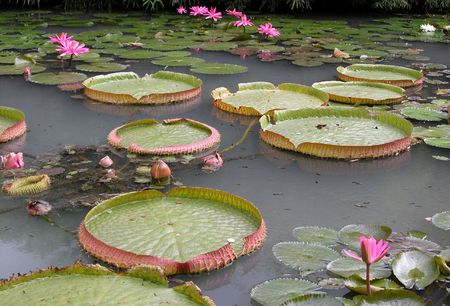 Water lilies in a lake. Lotus flowers photo