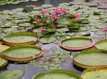 Water lilies in a lake. Lotus flowers Stock Photo - 2622212