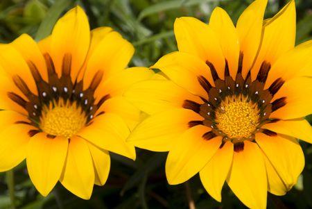 florets: Colourful gazania flower