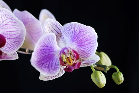 White and pink orchid (Phalaenopsis) isolated  on a black background photo