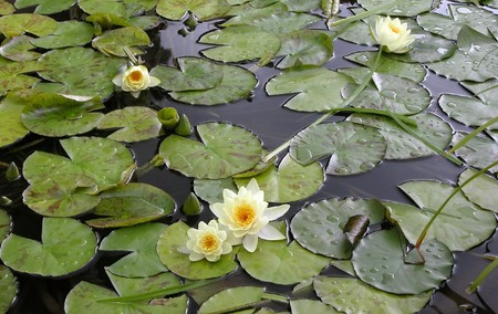 Water lilies in a lake. Lotus flowers Stock Photo - 4326161