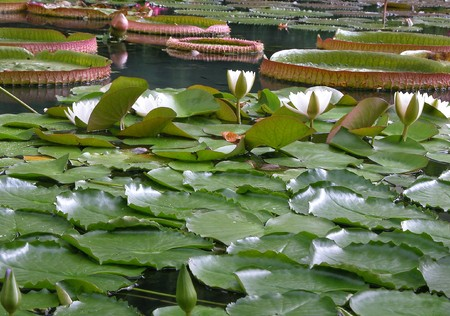 Water lilies in a lake. Lotus flowers Stock Photo - 4326167