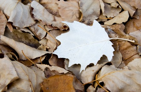 Autumn leaves with focus on the white leaf Stock Photo - 4326170