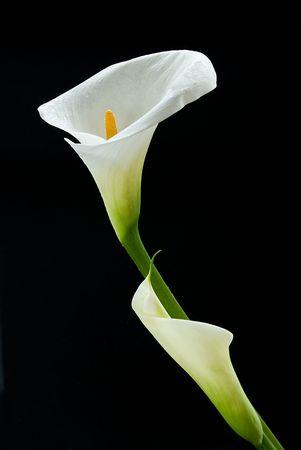 Calla Lily flores aisladas sobre fondo negro