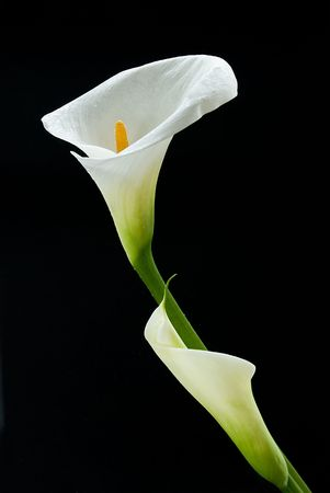 Calla lily flowers isolated on a black background Stock Photo - 4650809