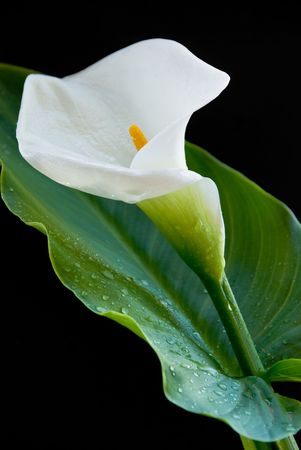 Calla lily  with water droplets iasolated on  a black background Stock Photo - 4668757