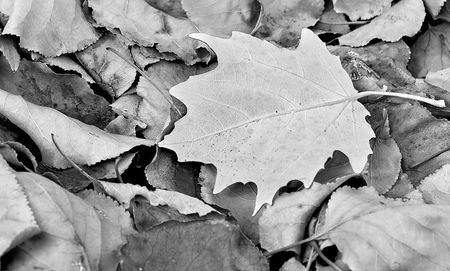 Dead leaves in black and white. Focus is on the white leaf Stock Photo - 4760452