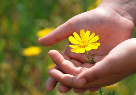 Yellow marguerite in hands. Stock Photo - 4760441