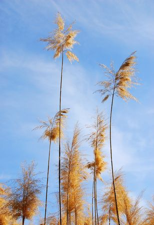 phragmites: Common reed (phragmites) plant  against a blue cloude sky