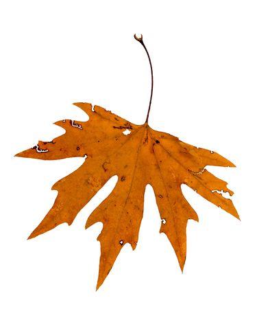 Herbst-Blatt isoliert auf weißem Hintergrund Standard-Bild - 4809937