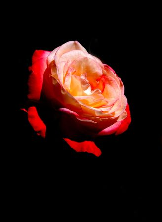 Rose flower head isolated on black Stock Photo - 5114263