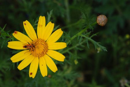 Yellow marguerite and insect on its petals Stock Photo - 6578770