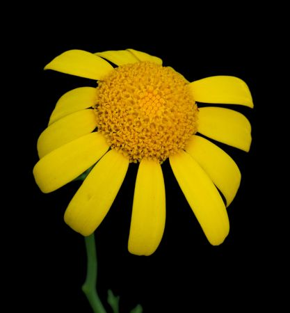 Yellow marguerite isolated on a black background Stock Photo - 6650304