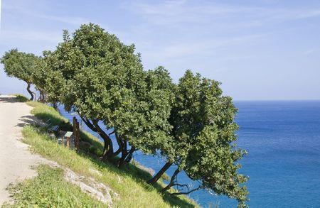 Mastic tree on Akamas peninsula at Latsia area in Cyprus