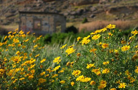 Abandoned house at Ayios Sozomenos village with yellow daisy flowers around Stock Photo - 6879566