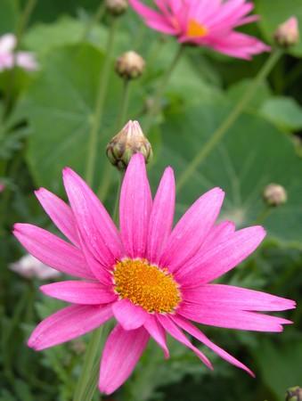 Daisy flower Stock Photo - 7170094