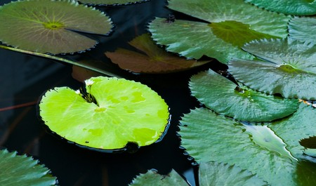 Water lily leaves Stock Photo - 7819112