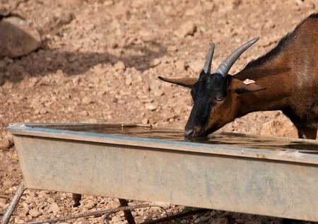wild goat:  Agua potable de cabra salvaje marr�n