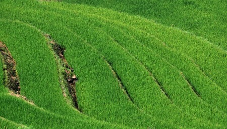 Green rice fields from Vietnam countryside at Sapa area. photo