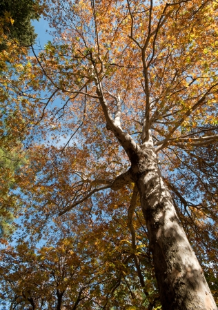 Plane tree in Autumn with yellow leaves Stock Photo - 8419340