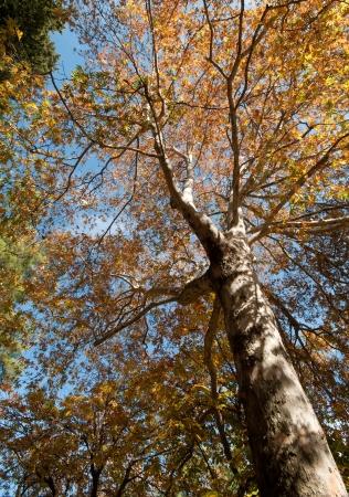 Platane en automne avec des feuilles jaunes