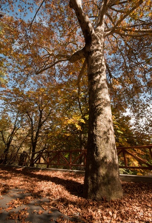 Plane tree in Autumn with yellow leaves Stock Photo - 8419333