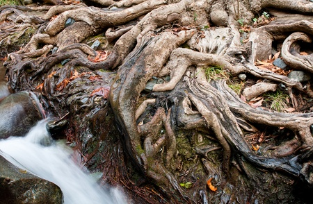 Impressive tree roots with water passing Stock Photo - 8901140