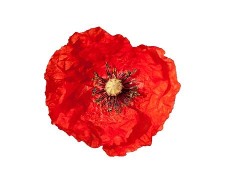 Fleur de pavot rouge isolé sur un fond blanc Banque d'images
