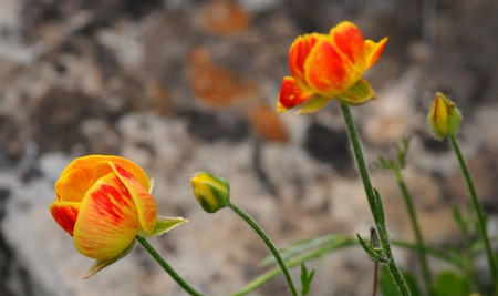 Group of colorfull poppy flowers  with focus on the front flower. Stock Photo - 9593564