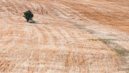 Small lonely olive tree on a  wheat field. Stock Photo - 9593575