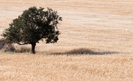 Lonely olive tree on a  wheat field. Stock Photo - 9593581
