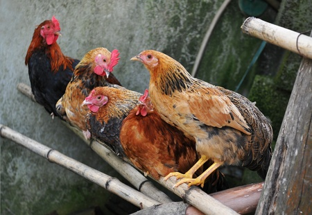 Farm chickens Stock Photo - 11086217