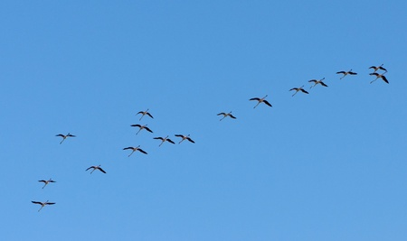 Group of flamingo birds flying against  a blue clear sky