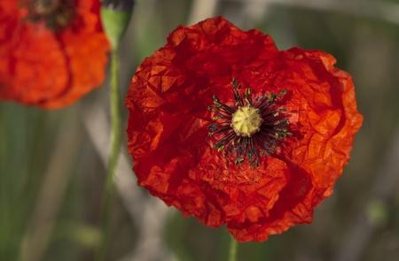 anemone flower: Dettagli di un anemone fiore rosso