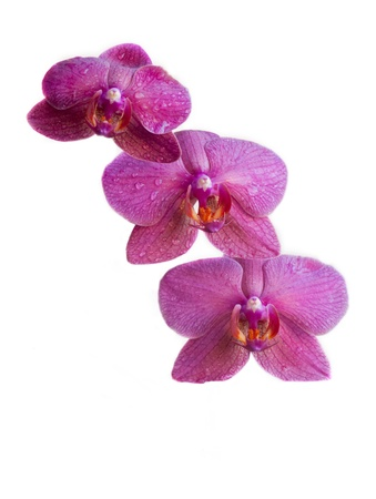 Orchid flower isolated on a white background and copy space for writting text Stock Photo - 14355835