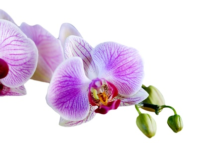 Phalaenopsis orchid flower isolated on a white background Stock Photo - 14474443