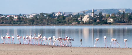 Group of Flamingo birds in the Salt lake of Larnaca, Cyprus. At the back is the famous Hala Sultan tekke muslim mosque.