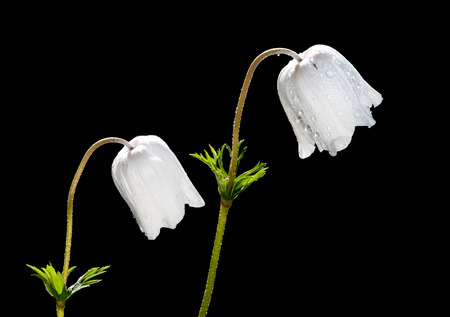 flowering plant: Two white anemone coronaria flowers on a black background. Anemone coronaria is a species of flowering plant in the genus Anemone, native to the Mediterranean region. Stock Photo