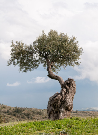 cyprus tree: Lonely olive tree standing on the peak of a hill against a cloudy sky in Cyprus. Olive trees are symbol of hope and peace. Stock Photo