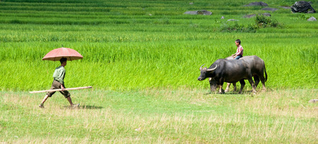 Sapa, Vietnam - 10 August 2010: Man with an umbrella walking and kid riding a buffalo on a farmland rice field on 10 August 2010 in Sapa area , Vietnam, Asia 新聞圖片