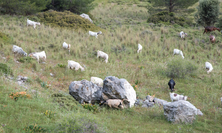 animals feeding: Wild goat animals feeding from green grass at  Pentadaltylos mountain range in Cyprus