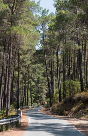 cyprus tree: Empty forest road passing through green tall pine trees late in summer at Troodos mountain range in Cyprus